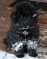 newfie pup