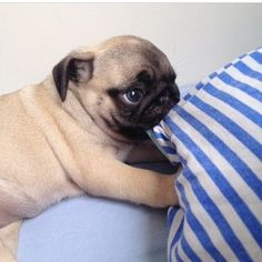 Gonna teach our pugs to do this to @lsljohns pillow when they need to be let out