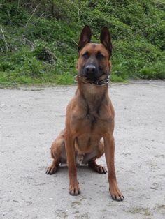 KNPV male Malinois. Scott's K9 sells fully trained police and family protection dogs.
