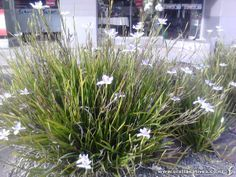 Libertia Grandiflora * Grows to tall to wide * Stems of white Seaside Garden, Coastal Gardens, Beach Gardens, Small Gardens, Specimen Trees, Garden Of Earthly Delights, Small White Flowers, Low Maintenance Garden, Home Landscaping