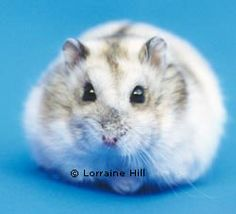 Dwarf Winter White Russian Hamster - click on image to find information about this species of hamster.
