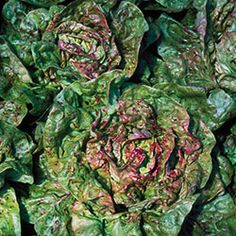 Lettuce, Speckled Organic | Seed Savers Exchange