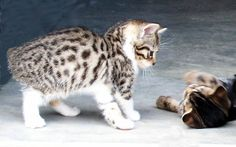 American Bobtail Cat Breeds - Manx Cat - Ideas of Manx Cat - Litter size of Manx Cat Click the picture to read I have a Manx. He's 21 yrs old now and he's the smartest cat I've ever known. The post American Bobtail Cat Breeds appeared first on Cat Gig. Manx Kittens For Sale, Bengal Cat For Sale, Cats And Kittens, Bengal Cats, Baby Animals, Cute Animals, Small Animals, Singapura Cat, American Bobtail Cat