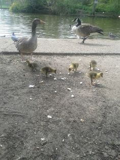 Goslings and parents