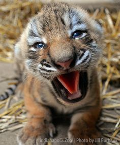 "I said ""Milk NOW!"" (Tiger Cub_Indianapolis Zoo_update_1)"
