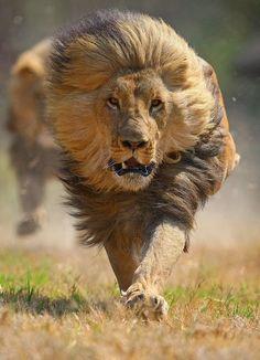 Charging Lion by David Baz Jenkins