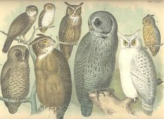 GREAT AMERICAN OWL OwlS Bird 19th Century Litho Crayonne Lithograph Birds ~~ 1800s Old Color Antique Art Print Jacob Studer [Inv#113