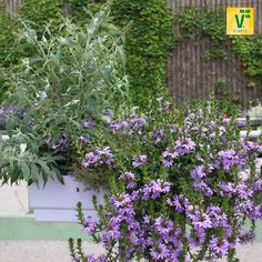 Scaevola 'Saphira', Sommerflieder 'Summer Bird', Feldthymian 'Creeping Red'