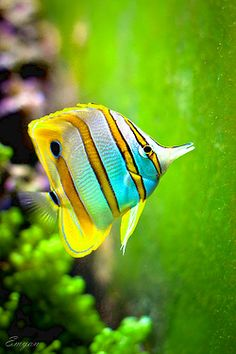 Butterflyfish on green by Emyan on Flickr.