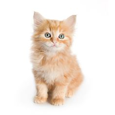 CAT 03 RK2715 01 © Kimball Stock Orange Tabby Kitten Sitting On White Seamless