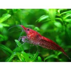Red Cherry Shrimp for some (cute!) activity on the bottom. Also eat algae too! Great clean up crew-don't keep with large fish.