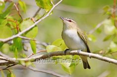 Red Eyed Vireo   North American Forest Bird Photography   White Tan Neotropical Bird Photo Art   Nature Gift Idea   Green Olive Vireo Print by FeatherWindStudio on Etsy