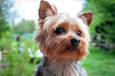Yorkshire Terrier information including pictures, training, behavior, and care of Yorkies and dog breed mixes.