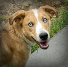Adopt Italy, a lovely 5 months 2 days Dog available for adoption at Petango.com.  Italy is a Australian Shepherd / Siberian Husky and is available at the Cheyenne Animal Shelter in CHEYENNE, WY