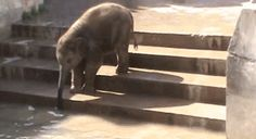 It's so much fun! Baby Elephants Learn How To Use Their Trunks Baby Elephant Video, Elephant Gif, Elephant Trunk, Elephant Love, Elephant Videos, All About Elephants, Baby Elephants, Giraffes, Baby Animals