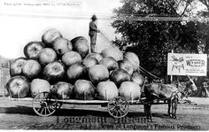 "1909 Postcard from Longmont, CO - advertising ""Some of Longmont's Famous Products"" - showing a cart full of giant apples with a man standing on top. (Longmont Museum and Cultural Center)"