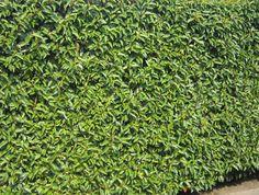 Portugese laurier (Prunus Lusitanica Angustifolia
