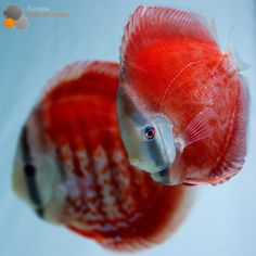 Red Cover Discus #discus #diskus #diskusfische #aquarium #symphysodon…