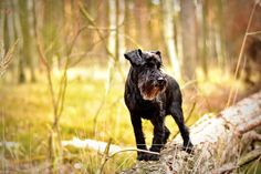 Dog, Miniature Schnauzer Dog Pet Photography Fo #dog, #miniature, #schnauzer, #dog, #pet, #photography, #fo Miniature Dog Breeds, Miniature Schnauzer Puppies, Giant Schnauzer, Raza Schnauzer, Schnauzer Dogs, Schnauzer Gigante, Dog Bearding, Griffon Dog, Terrier Dog Breeds