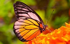 Love monarch butterflies