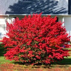 The burning bush plants are ornamental shrubs whose green leaves of summer turn brilliant reds. Burning bush shrubs grows well in USDA plant hardiness zones 4 to Burning Bush Shrub, Euonymus Alatus, Types Of Mulch, Shade Tolerant Plants, Foundation Planting, Landscaping With Rocks, Landscaping Ideas, Yard Landscaping, Gardens