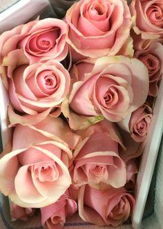 """Titanic"" Pink Roses"