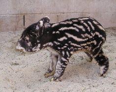 baby-mountain-tapir-la-zoo-001m2.jpg (460×364)