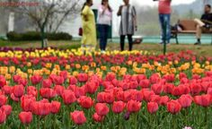 Asia's largest tulip garden thrown open for visitors