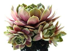 """How to Plant & Grow Hens and Chicks (Sempervivum) """"Sempervivum literally means """"live forever"""" because they grow and propagate so readily. These succulents are called by many names (semps, hens and chicks, houseleeks), but whatever you call them, they are amazing plants."""""""