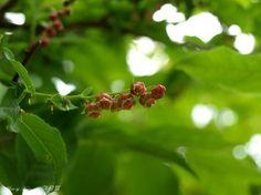 정금나무 (진달래과) 꽃