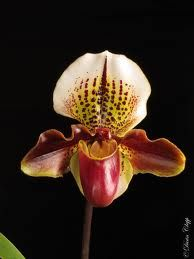 An orchid named after Henry VIII.  Wonder  why?  Maybe that part of the flower that looks like a codpiece had something to do with it.