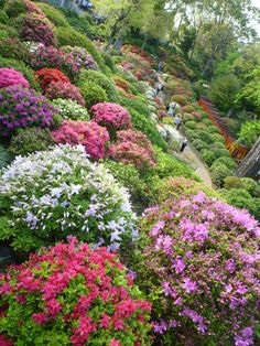 Azalea-Festival April 5th to May 6th   Nezu shrine(Tokyo-Yanesen Area) will celebrate its Azalea Festival (tsutsuji-matsuri). There will be 100 sorts, 3000 Azaleas and many kinds of food/ flower/ tea wagons. Yanesen is a historic area of Tokyo. You can also enjoy walking around, finding old temples, traditional wooden houses, small old-styled pubs with nice meal and a drink.  #Japan #garden