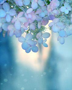 blue aqua lavender pink  hydrangea