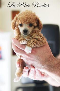 La Petite Teacup Poodle Puppies