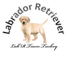 Yavru Labrador Çiftliği Labrador Retrievers, Labradors, Turkey, Dogs, Animals, Html, Labrador Retriever, Animales, Turkey Country