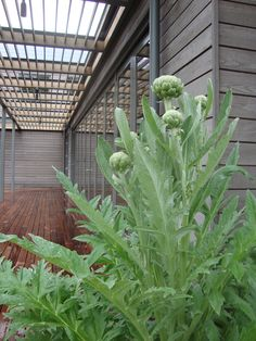 ARTICHOKE as edible accent in the garden. RS McDANNELL