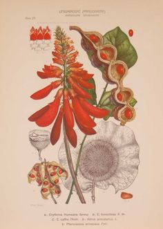 Original 1925 vintage botanical print titled Leguminoseae Papilionatae Phaseoleae Dalbergieae Plate 29 by Rudolph Marloth. The print was published as part of a set on the flora of South Africa. Print size is 11 by 8 inches. Rudolf Marloth (1855 – 1931) was a German-born South African botanist, pharmacist and analytical chemist, best known for his work on the Flora of South Africa which where published between 1913 and 1932. Vintage Botanical Prints, Vintage Prints, Jack B, Gallery Website, Antique Maps, Chemist, French Art, Is 11, Natural History