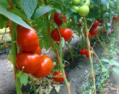 Pentru cei cărora le este frică să cumpere fructe și legume din comerț, o bună idee ar fi să crească singuri aceste produse în grădina proprie. Evident, pe lângă multă muncă, apar și întrebările legate de sol și îngrășăminte. Nimic nu poate fi mai simplu decât această metodă de fertilizare a solului! Stropirea cu o soluție de drojdie a roșiilor și castraveților permite o protejare mai bună împotriva făinării și manei. De asemenea, este absolut naturală și sănătoasă. Pentru această soluție… Vegetables, Gardening, Cake, Sun, Agriculture, Plant, Lawn And Garden, Kuchen, Vegetable Recipes