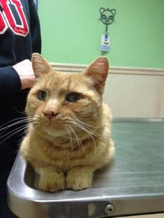 Meet Big Red, a Petfinder adoptable Domestic Short Hair-orange Cat | Reynoldsburg, OH | Big Red is a sweet boy who loves to lay on your lap.  He had been abandoned in a neighborhood.  A...