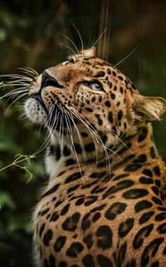 Panthera Pardus, Paws And Claws, Kitty Kitty, Big Cats, Predator, Cheetah, Animals And Pets, Postcards, Cute Babies