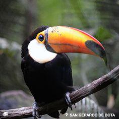 San Gerardo de Dota, Talamanca. Costa Rica. Pintoresco poblado, ideal para los amantes del avistamiento de aves, ya que cuenta con alrededor de 200 especies que se dejan ver durante todo el año. Es posible observar Tucanes pico verde y Quetzales.