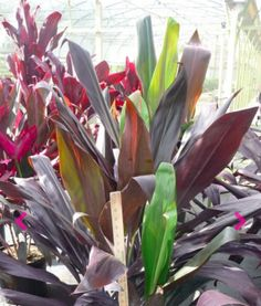 Cordyline fruticosa 'Black Magic'  Common Name:  Origin: New Guinea and Southeast Asia  Height: Up to 10'  Light: Partial to full sun  Water: Moderate  Bloom: Sporadic clusters of tiny, purple, star-like flowers