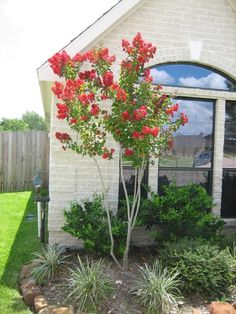 Full size picture of Crepe Myrtle, Crape Myrtle 'Dynamite' (Lagerstroemia… Crepe Myrtle Landscaping, Texas Landscaping, Front Yard Landscaping, Crepe Myrtle Trees, Front Yard Garden Design, Patio Trees, Lagerstroemia, California Garden, Garden Pictures