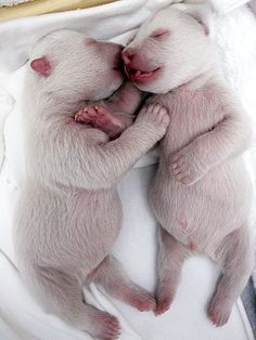 Prepare yourself for Extreme Cuteness - Twin Baby Polar Bears... Adorable Bellies!  Little Tongues!  Enormous Baby Bear Claws! Slightly Pinkish Color!