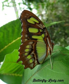 The Malachite (Siproeta stelenes) is named for the mineral malachite, which is similar in color to the bright green on the butterfly's wings