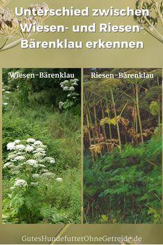 Unterschied zwischen Wiesen-Bärenklau und Riesen-Bärenklau erkennen #Herkulesstaude #Bärenklau #hogweed