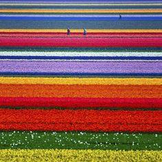 champ de tulipes au Pays-Bas