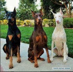 Doberman Pinscher Dog, Doberman Dogs, Pet Dogs, Pitbulls, Dog Cat, Dobermans, Dog Breeds List, Cute Dogs Breeds, Beautiful Dogs