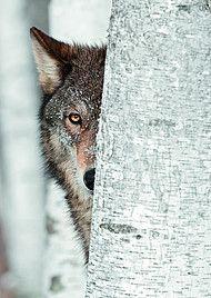 Arktischer Wolf, Lonely Heart, Fox, Animals, Karlsruhe, Animales, Animaux, Animal, Animais