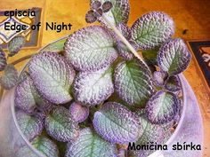 Episcia 'Edge of Night' - not my photo but using it as a marker until I can get my own.  This plant is very pale silvery green with a soft rosy and bronze edging to the leaves. Violets, Marker, Africa, Cactus Plants, Exotic Plants, Succulents, Markers, Afro, Pansies